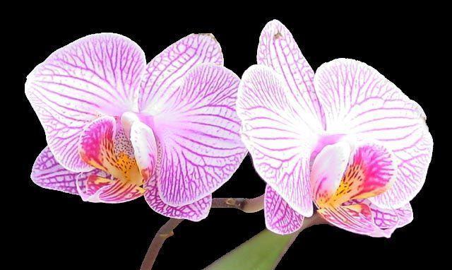 Orchidee Pour Tout Les Mamans Du Monde